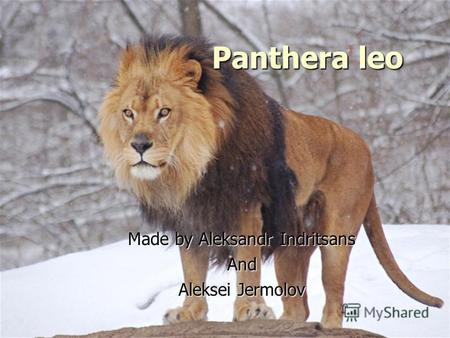 Panthera leo Made by Aleksandr Indritsans And Aleksei Jermolov.