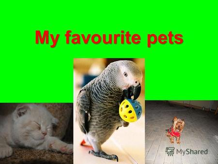 My favourite pets. Kesha the Parrot (Jaco) My parrot likes to play. When I give him an apple, he makes a hole with his beak and tries to get a seed and.