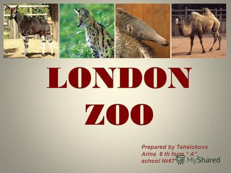 LONDON ZOO Prepared by Tshelokova Arina 6 th form A, school 67.
