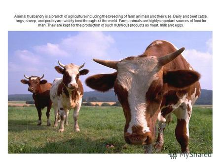 Animal husbandry is a branch of agriculture including the breeding of farm animals and their use. Dairy and beef cattle, hogs, sheep, and poultry are widely.