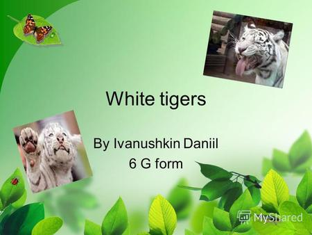 White tigers By Ivanushkin Daniil 6 G form. The white tigers live in India, in Butan, in Nepal. There arent many white tigers in the world. They need.