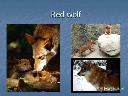 Red wolf Original appearance From the nearest relative of grey wolf red wolves differ in less sizes. A red wolf is more slender, for him longer than leg.