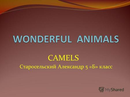 CAMELS Старосельский Александр 5 «Б» класс I want to tell about this interesting animal – a camel. A camel is a long-legged animal with a big body, a.