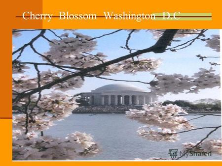 Cherry Blossom Washington D.C. White House Washington D.C.