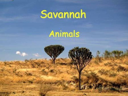 Savannah Animals. A savannah is an area where there is tall grass. Few trees and lots of wild life. Nature on savannah is very coloured. People also live.