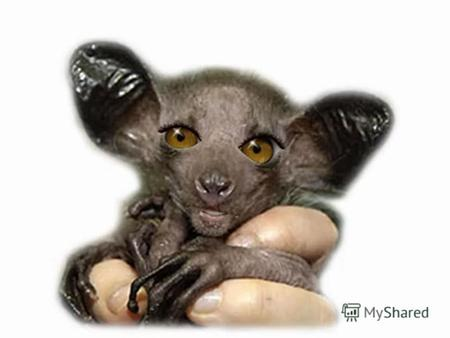 The aye-aye with its strange looks and extremely thin fingers is considered to be one of the most unusual primates in the world. It is rare and listed.