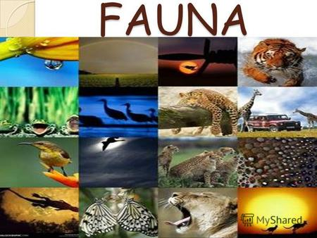 FAUNA Fauna of Africa Fauna of Africa, in its broader sense, is all the animals living on the African continent and its surrounding seas and islands. The.