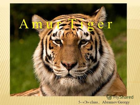 A m u r T i g e r 5- «Э» class, Abramov Georgy. The Amur tiger is in Russia's Red Book of Endangered animals. Hunting for tigers is prohibited since 1947.