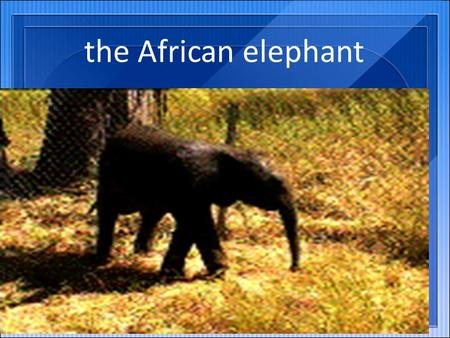 The African elephant. An elephant weighs between 4-7 tons. Growth of about 4 meters.