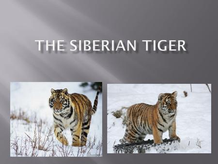 The Siberian tiger also known as the Amur tiger, is a tiger subspecies inhabiting mainly the Sikhote Alin mountain region with a small population in southwest.