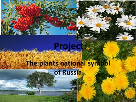 Project: The plants national symbol of Russia. In Russia grows a lot of plants. The most important symbol of Russian nature is the birch.