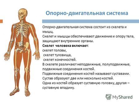 Реферат на тему скелет и мышцы человека 9965