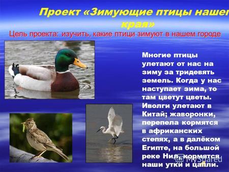 Презентация на тему Зимующие птицы Почему не все птицы улетают  Проект Зимующие птицы нашего края Многие птицы улетают от нас на зиму за тридевять