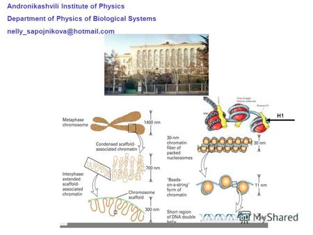 Andronikashvili Institute of Physics Department of Physics of Biological Systems nelly_sapojnikova@hotmail.com H1.