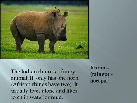 Rhino – (raineu) - носорог The Indian rhino is a funny animal. It only has one horn (African rhinos have two). It usually lives alone and likes to sit.