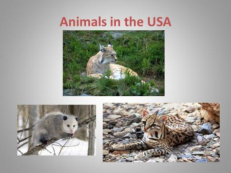 Animals in the USA. OPOSSUM The size of opossums is small:thelength of body is 7-50 cm, the tail is 4-55 cm. The muzzle is elongated and pointed. All.