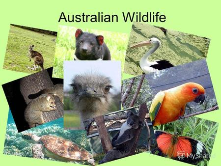 Australian Wildlife. Australia has nearly half a million species of plants and animals-one of the greatest varieties of any country in the world.