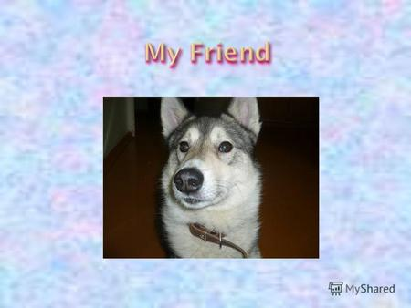 I have g о t a true friend. My friend is a dog. My friends name is Tuman. It is a husky. It is a nice d о g. He is grey. He has got an unusual tail.