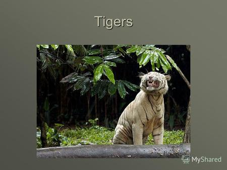 Tigers There are few Indian tigers on the Earth now. There are few Indian tigers on the Earth now.