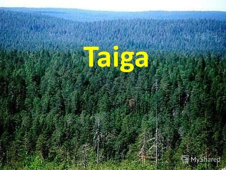 Taiga Taiga Taiga - a huge, wild and hard traveled by the forest, which grows mainly coniferous trees. The word taiga means dense forest.Taiga - the.