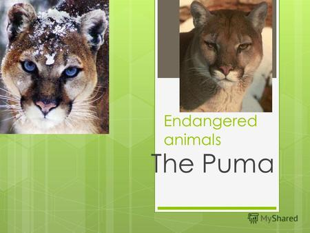Endangered animals The Puma. One of the American animals which does not occupy huge area is the puma.