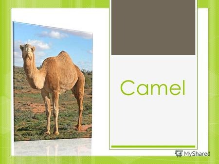 Camel. In our zoo you can get closer to camels. There are two camels in our zoo. One camel is big and old. It is 73 years old.