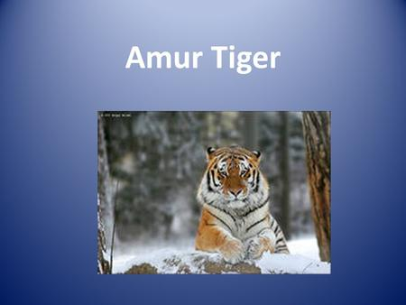Amur Tiger Where the Tiger lives It lives in Russia, Siberia.