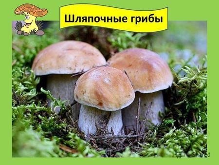 изучите строение и познакомьтесь с разнообразием шляпочных грибов