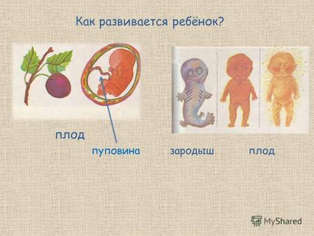 Как развивается плод
