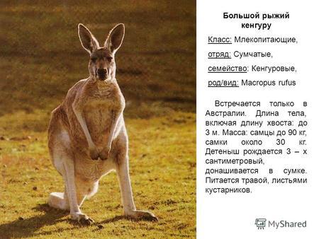 Скачать реферат кенгуру реферат по фізкультурі скачать