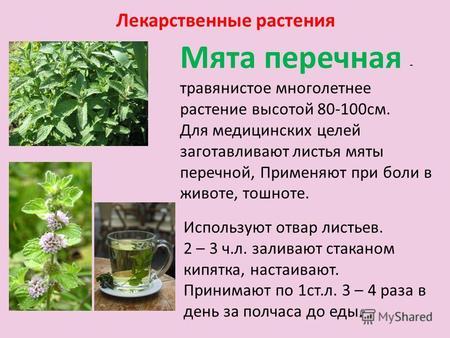 Презентация на тему Лекарственные растения Шумова Наташа класс  Лекарственные растения Мята перечная травянистое многолетнее растение высотой 80 100см Для медицинских целей