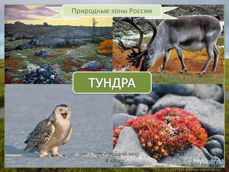 Тундра лесов она и тему презентация тундра