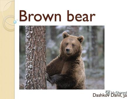 Brown bear Dashkov Danil, 3a. Brown bear The brown bear likes to make its home in a tree.