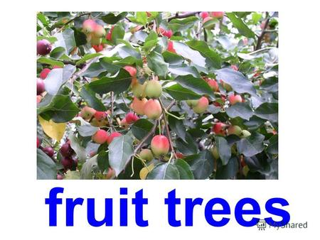 fruit trees grapefruit tree orange-tree pomegranate.