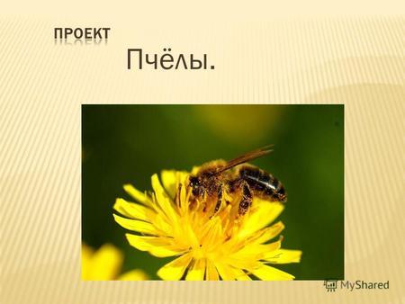 Презентация на тему пчела медоносная